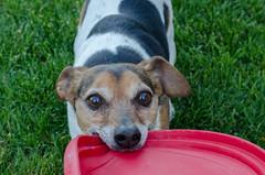 Week 4 (jessicajoy2) Tags: buster week4 12yearsold spring dog jackrussell frisbee tugowar 2019