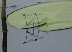 White-legged Damselfly (Platycnemis pennipes) Pairs (Rezamink) Tags: platycnemispennipes whiteleggeddamselfly dragonflies odonata uk