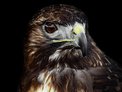 THE HAWK (eliewolfphotography) Tags: hawk hawks raptors raptor bird birdsofprey nature naturelovers nikon naturephotography natgeo naturephotographer natgeowild wildlife wildlifephotographer wildlifephotography
