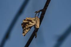 End Of The Line (davidseibold) Tags: america backyard bakersfield california jfflickr kerncounty leaf photosbydavid plant platoct postedonflickr riverbirch tree unitedstates usa