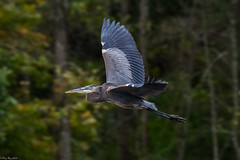 On the wing (Fred Roe) Tags: nikond7100 nikonafsnikkor200500mm156eed nature naturephotography national wildlife wildlifephotography animals birds birding birdwatching birdwatcher birdinflight heron greatblueheron ardeaherodias colors outside flickr feet peacevalleypark