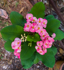 Euphorbia milii Des Moul. Euphorbiaceae-Crown of thorns, โป๊ยเซียน 4ec (SierraSunrise) Tags: thailand phonphisai nongkhai isaan esarn plants flowers pink white euphorbiaceae euphorbia thorny spiny ornamentals