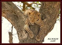 LEOPARD (Panthera pardus) ...MASAI MARA.....SEPT 2018. (M Z Malik) Tags: nikon d800e 400mmf28gedvr kenya africa safari wildlife masaimara keekoroklodge exoticafricanwildlife exoticafricancats flickrbigcats leopard pantheraparduc
