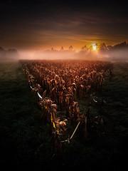 Reis (Noel Feans) Tags: reis teo millo mencer sunrise neboa fog mist galiza galicia maiz corn sony a7 iii zeiss batis 18