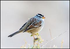 White-Crowned Sparrow (Ed Sivon) Tags: america canon nature lasvegas wildlife western wild white southwest desert clarkcounty vegas flickr bird henderson nevada