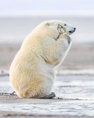 Polar Bear Cub Loves His Toy (Loren Mooney) Tags: alaska bear wildlife mammal americanbirds bird kaktovik outdoors nature canon polarbear wilderness animal american bearsursidae birding birds birdwatching wild wings