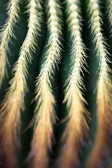 endangered cactus (primemundo) Tags: macros rows cactus sharp