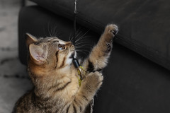 Kitten on a string (FocusPocus Photography) Tags: leo katze kater cat tabby spielt playing spielzeug toy tier animal kitten pfote paw