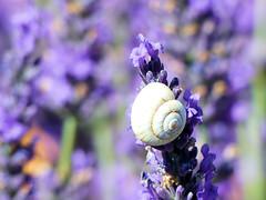 P1810009 (alainazer) Tags: valensole provence france fiori fleurs flowers fields champs colori colors couleurs lavande lavanda lavender escargot snail lumaca