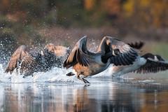 ''Action on tourne!'' Bernache du canada-Canada goose (pascaleforest) Tags: automne kayak canada quebec faune wildlife wild nature nikon passion bird oiseau