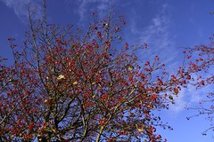 Schwedische Mehlbeere (Sorbus intermedia); Wohlde, Stapelholm (8) (Chironius) Tags: stapelholm bergenhusen schleswigholstein deutschland germany allemagne alemania germania германия niemcy frucht fruit frutta owoc fruta фрукты frukt meyve buah sorbus herbst herfst autumn autunno efteråret otoño höst jesień осень rosids fabids rosales rosenartige rosaceae rosengewächse rosoideae pyreae kernobstgewächse pyrinae mehlbeeren baum bäume tree trees arbre дерево árbol arbres деревья árboles albero árvore ağaç boom träd