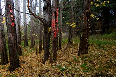 October (galterrashulc) Tags: latvia riga burchardumuiža rīga latvjia lettland nature forest flora autumn tree landscape wood gold leaves grass nikon d3200 nikkor 1200 2400 mm f40 irina galitskaya galterrashulc red naturebynikon