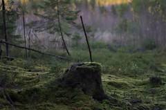 Stump (Stefano Rugolo) Tags: stefanorugolo pentax k5 pentaxk5 kmount smcpentaxm50mmf17 treestump stump moss nature forest view manualfocuslens manualfocus manual landscape sweden