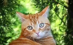 Spritz (En memoria de Zarpazos, mi valiente y mimoso tigre) Tags: cat garden bokeh greeneyes cypress kitten ginger orange red tabby gatto miciorosso gato naranja chatroux jardín giardino spritz bigeyes