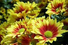 Bright Chrysanthemums (shelly.morgan50 (mostly off)) Tags: chrysanthemums mums shellymorgan50 panasoniclumixdczs200 flowerphotography nature garden yellow red macro bokeh closeup sunny bright colorful sunshine light details flower textures patterns brightcolors vibrant flowers daisy coth5 coth thesunshinegroup sunrays5