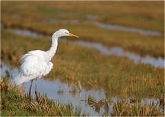Delta Ebre (boblecram) Tags: delta ebre echassier oiseau bird aigrette espagne ornithologie