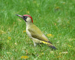 Green Woodpecker (Treflyn) Tags: green woodpecker rare visit back garden beautiful bird afternoon earley reading berkshire uk wild wildlife