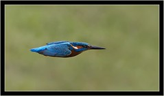 KINGFISHER (PHOTOGRAPHY STARTS WITH P.H.) Tags: kingfisher river dart totnes devon nikon d500 200500mm afs vr