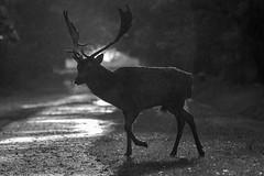 Up at dawn, awaiting the Rut (sean4646) Tags: d500 nikon birds avian nature wildlife dunhammassey cheshire tamron 150600 deer rutt blackandwhite rain dawn