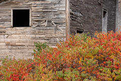 Autumn Abandoned Barn (Eyes Open To Life) Tags: barn vintage old abandoned autumn fall foliage decaying building leaves bush landscape nature rural extraordinarilyimpressive