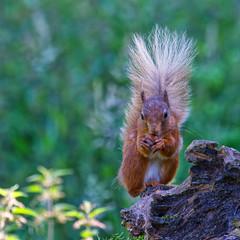 ~ Red Squirrel ~ (Margaret S.S) Tags: rodent mammal red squirrel sciurus vulgaris
