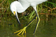 Big Foot, Little Fish (NaturalLight) Tags: snowyegret egret yellow foot fishing minnow feeding chisholmcreekpark wichita kansas