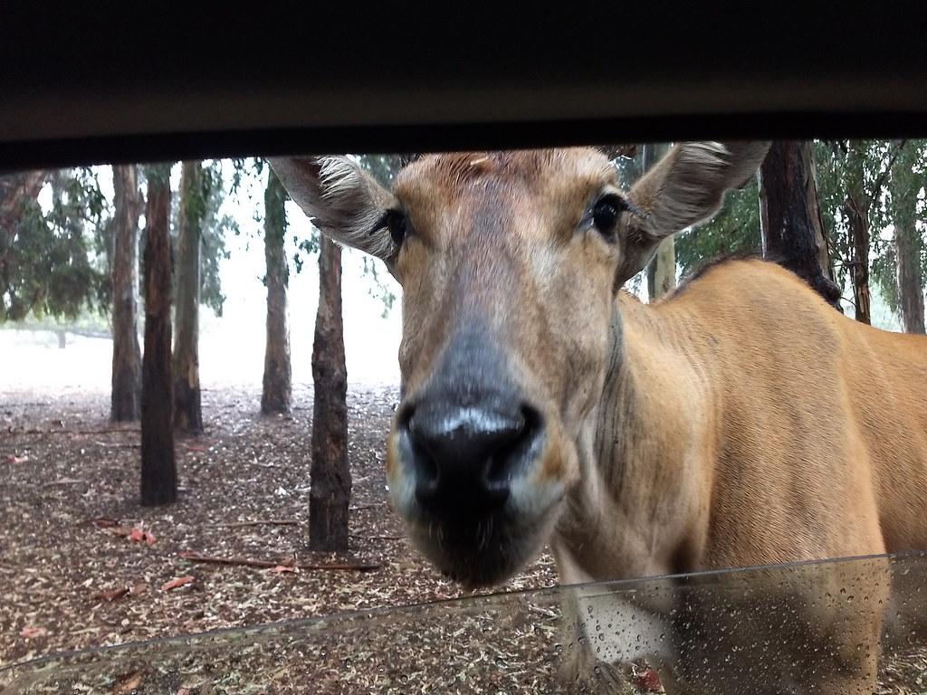 фото: Антилопа канна