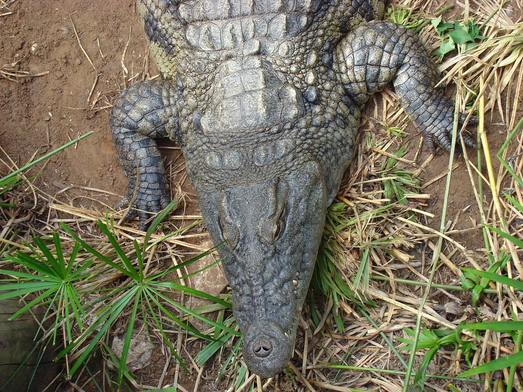 фото: Крокодил