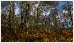 The route was adorned with splendid colours. (Ian Emerson (Thanks for all the comments and faves) Tags: autumn autumnal landscape woodland surpriseview peakdistrict derbyshire silverbirch fern colourful outdoor trees canon6d canon october sundayramble ramble hiking hathersage