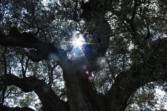 Otra visión de un olivo milenario (Jovi García) Tags: olivos olivetree segorbe altopalancia castellón verde nature naturalezacautivadora naturaleza arbol tree