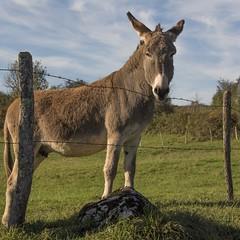 La petite ânesse **---+°-° (Titole) Tags: fence donkey jura squareformat barbedwire farmanimal barbelé ânesse titole nicolefaton friendlychallenges cywinner challengeyouwinner 15challengeswinner thechallengefactory