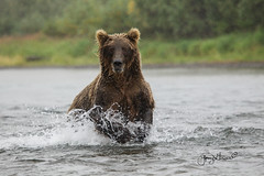 Fishing in the rain (♞Jenny♞) Tags: grizzlysow fishing rain salmon alaska river grizzlysowfishingintherain jennygrimm battleriveralaska specanimal hat specanimalphotooftheday coth5