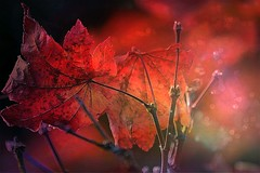Autumn Leaf (Small and Beautiful) Tags: autumn leaf texture light drama