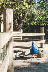 Corner (Joshua D. Price) Tags: trees tree treetrunk statues statue nature naturephotography birds bird bush bushes park publicpark plants plant green grass lake lakes fox foxes peacocks hawk hawks parrot chicken flowers flower