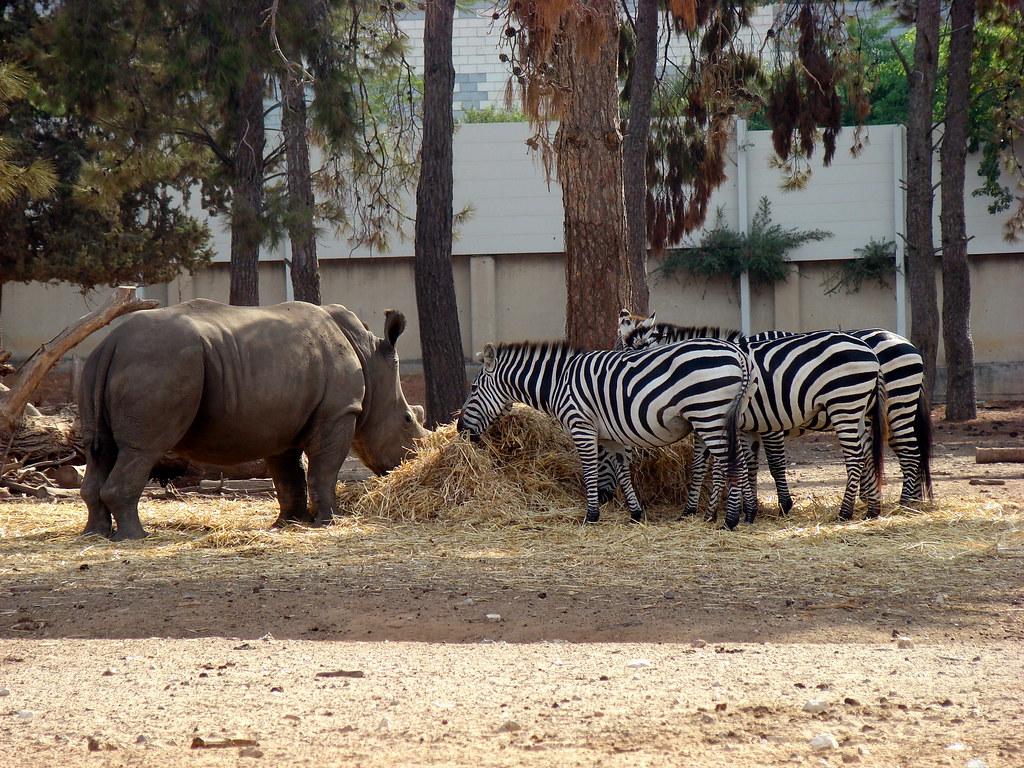 фото: Зебры и носорог