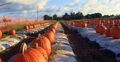 Autumn Orange (PelicanPete) Tags: florida southflorida unitedstates nature beauty field pumpkins pumpkinfarm orange halloween floridaorange pumpkinpatch farm autumnorange closeup rows wrap sunshine glow shadows sunset