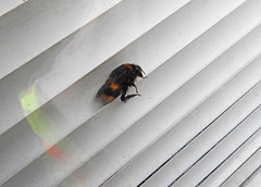 Bee died:  27.10.19. (VolVal) Tags: dorset bournemouth boscombe garden insect deadbee windowblind october