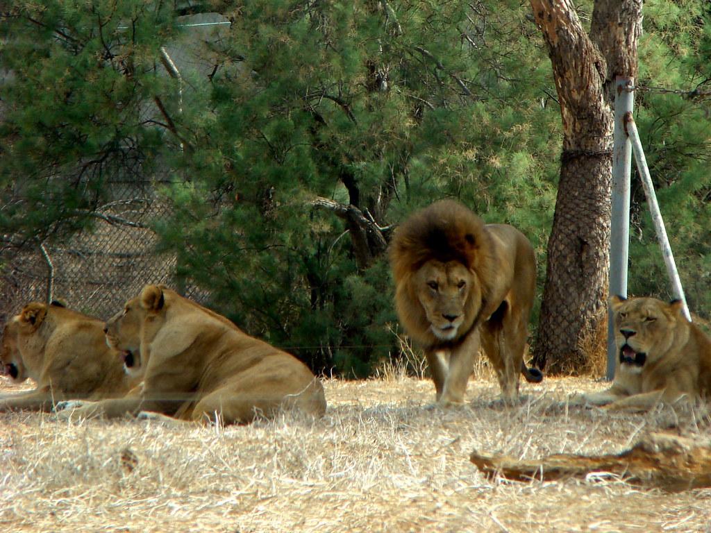 фото: Львы