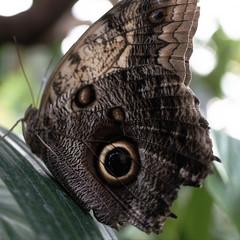 Giant Owl (Ben Wightman) Tags: macromondays fake giantowl butterfly eye chesterzoo