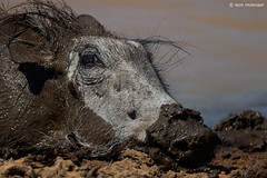 Coping with the heatwave (leendert3) Tags: leonmolenaar southafrica krugernationalpark wildlife wilderness wildanimal nature naturereserve naturalhabitat mammal warthog ngc