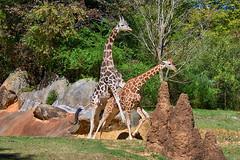 (I can't get no) Satisfaction (ucumari photography) Tags: ucumariphotography giraffe giraffa animal mammal nc north carolina zoo october 2019 dsc1447 specanimal