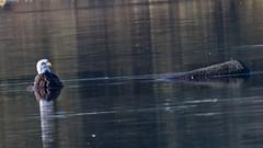 One too many ducks? (nickinthegarden) Tags: americanbaldeagle milllakepark abbotsfordbccanada