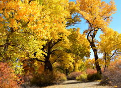 THE FRIENDLY PATH (Aspenbreeze) Tags: autumn cottonwoodtrees autumncolors color fallseason seasons trees path dirtroad walkingpath nature outdoors rural grandjunctioncolorado colorado beverlyzuerlein aspenbreeze moonandbackphotography