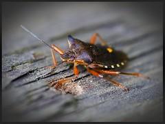 Gartenwanze /// Rhaphigaster nebulosa (tingel79) Tags: käfer wanze bug makro macro outdoor natur nature nahaufnahme photography photograph insekten insects view sony sonyalpha58