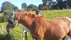 Friendly Horses, River Don, Dyce, Aberdeen, Sep 2019 (allanmaciver) Tags: friendly horses dyce aberdeen north east river don masks warm day sunshine allanmaciver