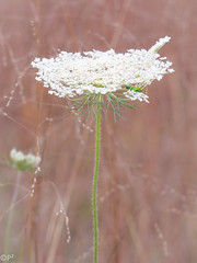 Lace in the meadow... (THE.ARCH) Tags: grasshopper queenanneslace wardpoundridgereservation meadow westchestercounty crossriver newyork ny westchestercountyparks nature insect