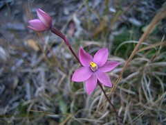 Thelymitra rubra (mncbirds) Tags: the blue mountains national park nsw australia aushp barry m ralley barrymralley thelymitra rubra salmon sun orchid