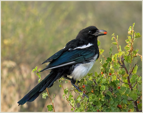 Black-billed Magpie by Marcia Nye - Award Class A Prints - Sept 2019