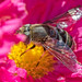 Eristalis dimidiata, a Type of Syrphid Fly (Female)