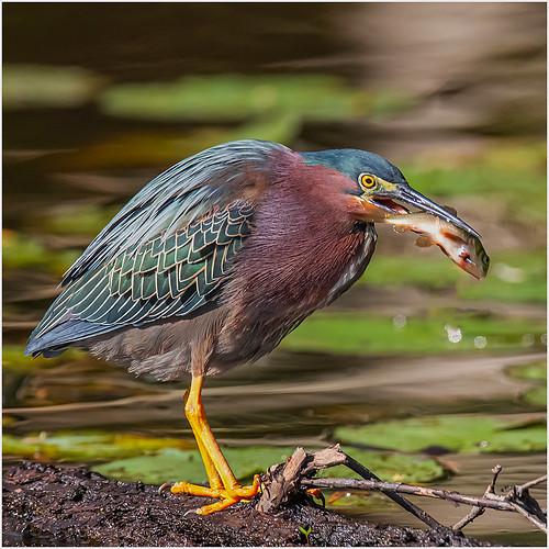 Green Heron Don Cochrane - Class B Digital Award - Sept 2019